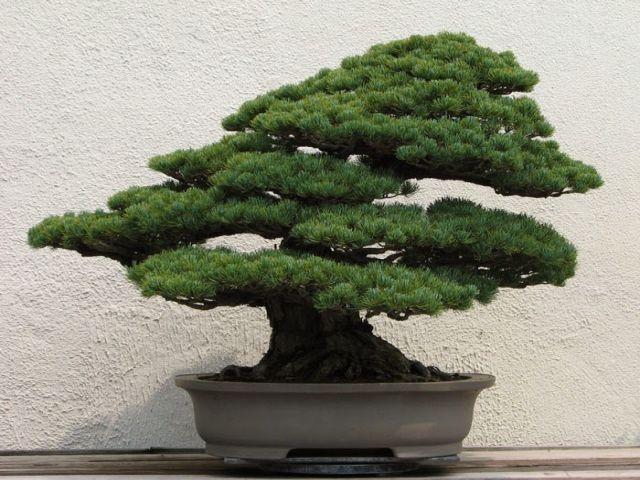 Kinh nghiệm chuyển cây bonsai khi chuyển nhà